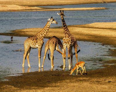 giraffes-impala-safari-5916620.jpg
