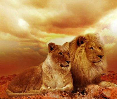 lions, couple, safari